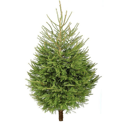 Norway Spruce Fresh Cut Christmas Trees - Christmas Trees Direct