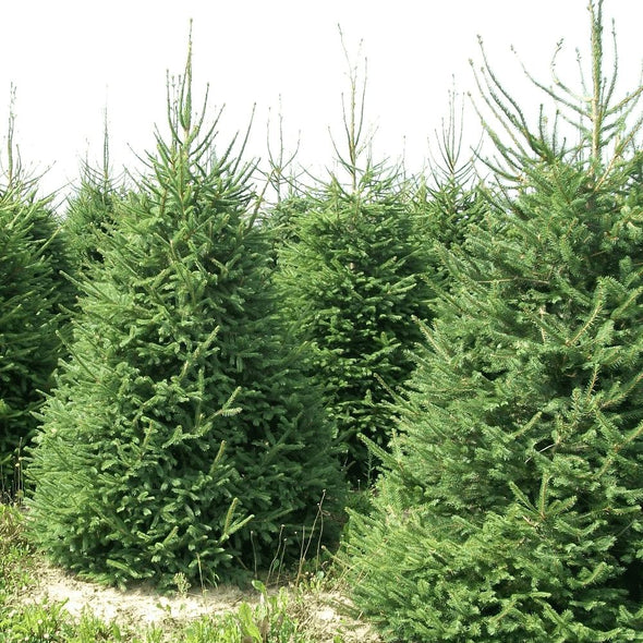 Norway Spruce Pot Grown Christmas Trees - Christmas Trees Direct