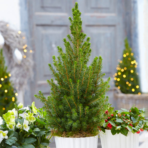 Picea Glauca Conica | Pot Grown Christmas Tree in Festive Red Pot