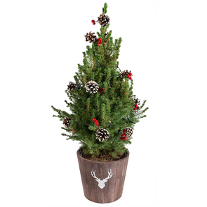 picea,clauca,conica,christmas,xmas,potted,tree,decor,decorated,plant