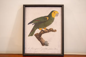 Framed Print of a Parrot