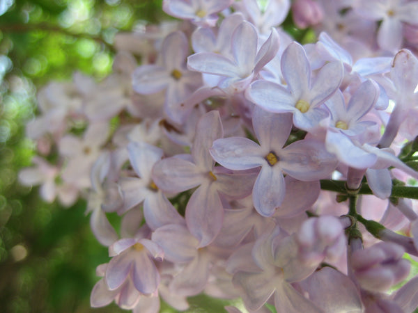 lilac bunch in a tree