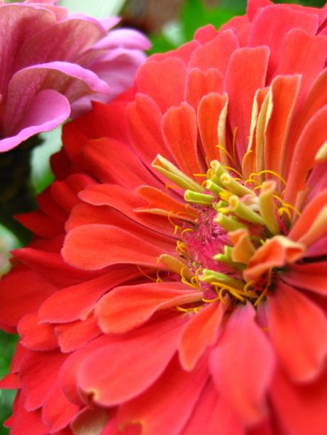 Giant Zinnia Photographic Print