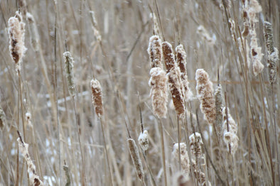cat tails blowing on a windy, winter's day