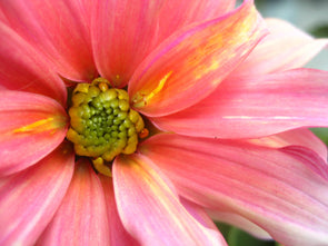 Pink dahlia with slight yellow tints opening up