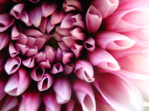 Pink and white dahlia blossom opening