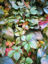 A vine of leaves changing during the fall season