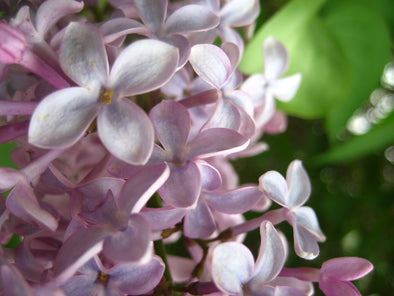 close up shot of purple lilacs in a blooming tree
