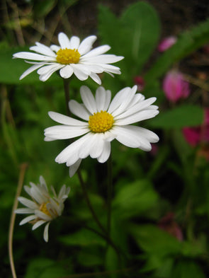 two single white daisies