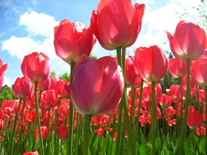 garden of pink tulips wth blue sky