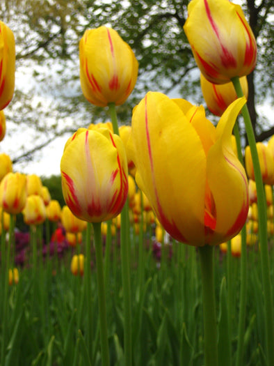 garden of yellow and red tulips at the canadian tulip festival, ottawa