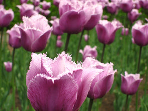 purple tulips at the canadian tulip festival, ottawa
