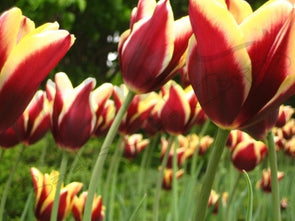 Garden of Yellow and Red Tulips Photographic Print