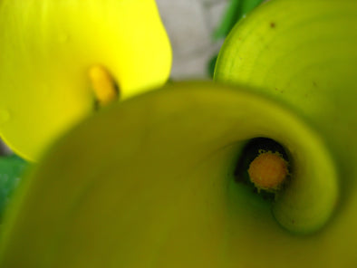 birds eye view of the inside of two yellow calla lilies