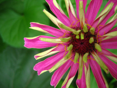 a pink zinnia flower opening up
