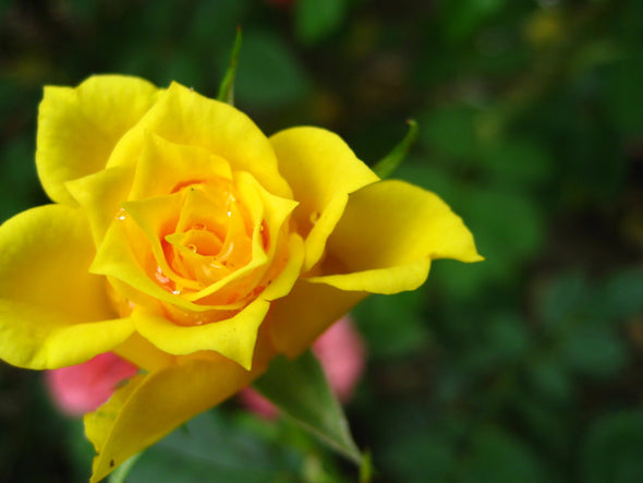 singular yellow rose blooming