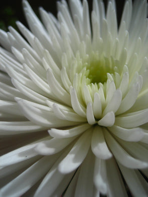 white spider mum flower