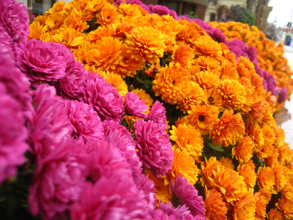 magenta and golden yellow fall mums