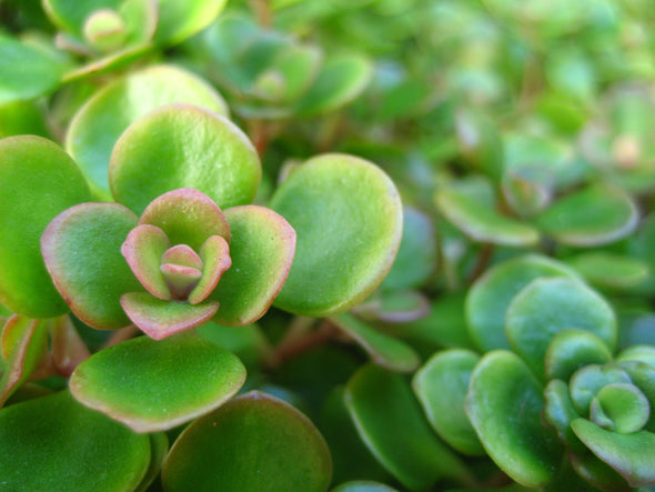 sea of green succulents