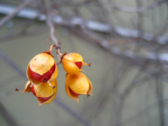 vibrant red and orange of the bittersweet berry vine in winter