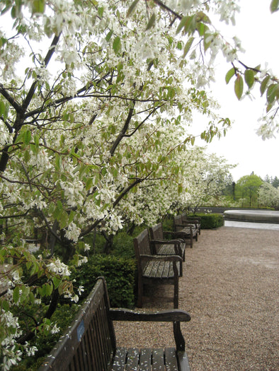 white flowering trees and empty benches at rideau hall, ottawa