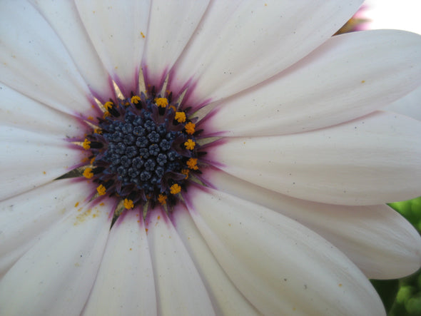 white petals and purple pistil of a flower