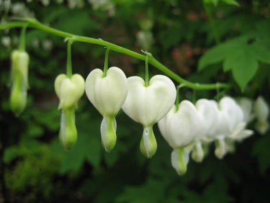 branch of white bleeding hearts