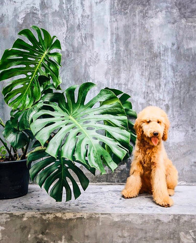 How To Grow and Care for The Monstera Plant