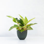 AGLAONEMA GREEN PAPAYA