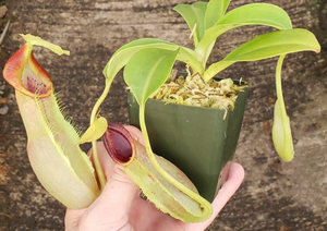 Blog Title Goes Here… Here's a first look at the Nepenthes Densiflora