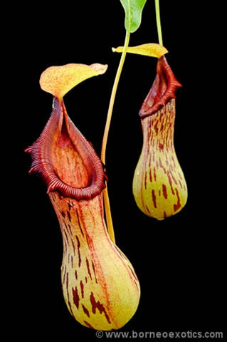 Nepenthes burkei - Small
