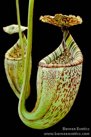 Nepenthes burbidgeae - Small