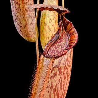 "Nepenthes (veitchii x lowii) x spectabilis ""Giant"" - Small"