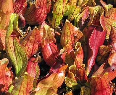 Sarracenia purpurea ssp. purpurea - Medium