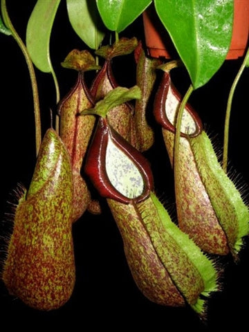 Nepenthes hirsuta x spathulata - Medium