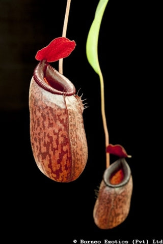 Nepenthes aristolochioides x ventricosa - Small