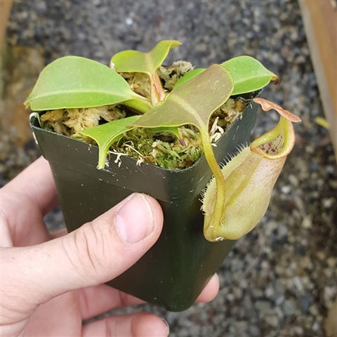 Nepenthes robcantleyi x veitchii - Large