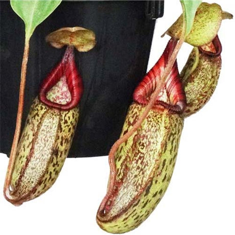 Nepenthes robcantleyi x (aristolochioides x spectabilis) - Small
