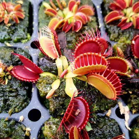 Venus Flytrap seed-grown - Small