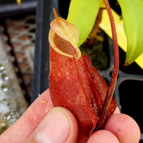 Nepenthes densiflora x rafflesiana - Medium