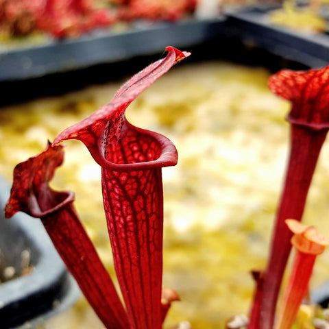Sarracenia x mitchelliana x flava var. ornata