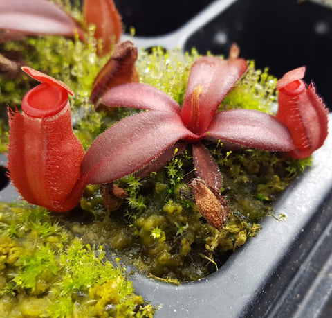 "Nepenthes albomarginata ""red"""