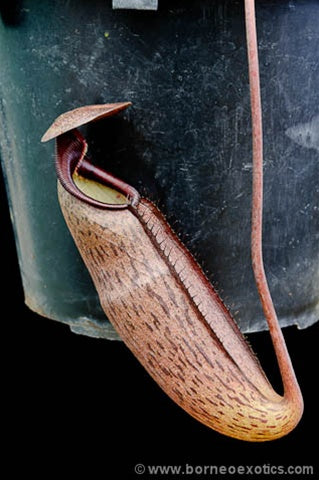 Nepenthes alba - Small