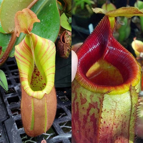 Nepenthes Velvet Mirror - XS/Small