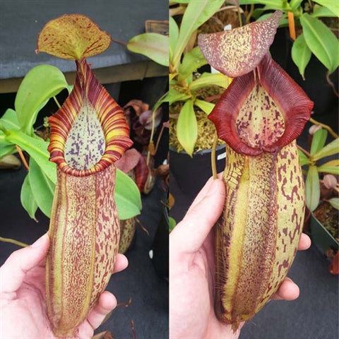 "Nepenthes spathulata x spectabilis ""Giant"" - Small"