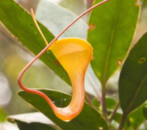 Nepenthes dubia - XS