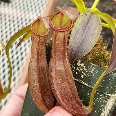 Nepenthes reinwardtiana - Small