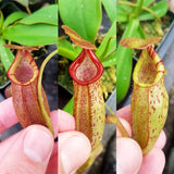 Nepenthes Dream Oracle - small