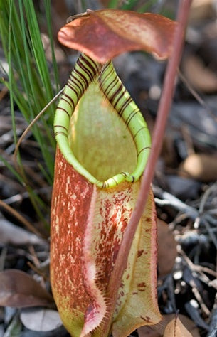 Nepenthes rafflesiana 'Giant' - Small
