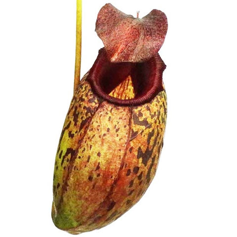 Nepenthes aristolochioides x burkei - Small